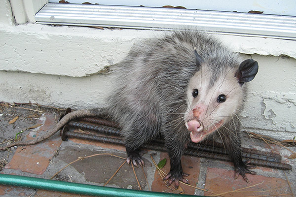Opossum Prevention Tips: How to Keep Opossums Away