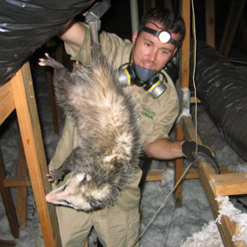 How To Get Rid Of A Possum In The Attic