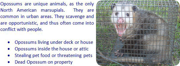 How to get rid of possums in the yard attic roof deck - How to get rid of possums in the garden ...