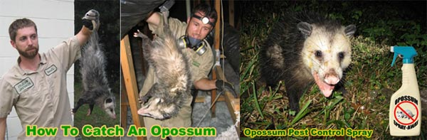 How to Get Rid of Possums In the Yard, Attic, Roof, Deck ...